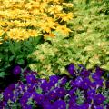 The foliage of Wild Lime coleus matches the yellow in the Prairie Sun rudbeckias and helps provide an opposite complementary color for the Easy Wave Blue petunias.