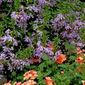 These blue scaevola partner well with orange verbena in this sunny garden setting. With lovely fan-shaped flowers and summer heat tolerance, scaevola has won numerous awards for their performance across the South.