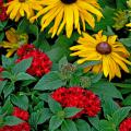 The Graffiti Red Lace provides beautiful support of these black-eyed Susans, or Rudbeckias.