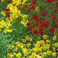Many flowers make great companion plantings with pansies. Here, Citrona Yellow erysimum and Dynasty Red dianthus combine beautifully with Baby Face Yellow Sorbet viola, which is like a miniature pansy.