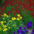 Cool-season flowers bring an abundance of color to fall gardens. Here Enchantment Linaria's very fragrant blooms of intense magenta and gold blend with Citrona Yellow erysimum and  Matrix Blue pansies in the foreground.