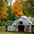 Colorful hickories stand out in this rural setting visible recently in central Mississippi between Louisville and Kosciusko.