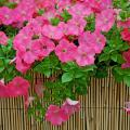 The Wave petunias will be popular again in 2007, including this Easy Wave Coral Reef. The color coral on this petunia is rich and saturated.