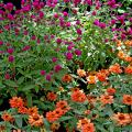 Profusion Deep Apricot zinnias shine brightly under the tall purple flowers of the All Around Gomphrena.