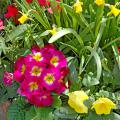 Primulas offer months