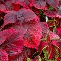 Coleus, such as these Mariposa and Florida City Altoona varieties, are some of the most versatile plants around.