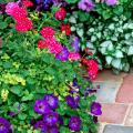 The red Magelana verbena thrives on the attention created in this garden when surrounded by the Sanguna Atomic Blue petunia as well as bright-blue lobelia flowers and cool-blue ageratums.