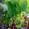 Bright Lights Swiss chard are attractive with colorful stems and leaves that are yellow, orange, pink violet, burgundy and red. The glossy leaves from these plants under giant taro elephant ears glow when backlit by the sun.
