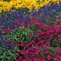 This garden with a triadic color scheme has Prairies Sun rudbeckia, Evolution salvia and Tidal Wave Cherry petunia.