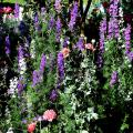 Magnificent larkspurs, poppies and even salvia are outstanding in this cottage garden in Kosciusko. The spiky texture is alive and well, creating garden excitement. (Photo by Norman Winter)