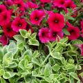 Mezoo Trailing Red succulent has glossy green foliage with cream margins. In this setting, it supports a planting of Sanguna Electric Burgandy petunias. Mezoo Trailing Red can be used as a groundcover or as a spiller plant in mixed containers. The red in its name comes from dime-sized flowers that accent the plant.