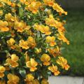 Violina Orange is a fragrant selection in the Violina series that reaches about 6 inches tall and spreads 14 inches. (Photo by Norman Winter)