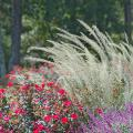 Lindheimer's muhly grass has a blue-gray-green color and fine leaf texture. Here it is partnered with Knock Out roses and Kathy Ann Brown Mexican bush sage for a fabulous fall display. (Photo by Norman Winter)