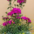 The Amazon dianthus is the thriller plant in this early-summer container. The filler plant is Flambe Orange chrysocephalum, which produces small, button-like, yellow flowers on striking, olive gray-green foliage. Silver Falls dichondra is the spiller plant that cascades over the rim. (Photo by Norman Winter)