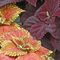 Kong Salmon Pink coleus partners well with Dark Chocolate coleus. Despite the deep, dark chocolate color, these plants grab your attention in shady locations.