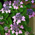 This purple lacecap hydrangea is an elegant bigleaf hydrangea that gets its name from its flat cap-like appearance. The large flowers in the outer ring are sterile but serve to attract pollinators to the tiny flowers in the middle. (Photo by Norman Winter)