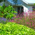 Fireworks gomphrena is tall and works well toward the back of the border. Here, it is complemented by the spiky blue blooms of Velocity salvia and the lime green leaves of ornamental sweet potato. (Photo by Norman Winter)