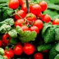 The Scarlet Sweet 'n' Neat tomato plant fits in a 6-inch container and produces sometimes as many as 40 or more cherry-sized tomatoes.