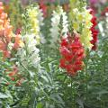 Snapdragons steal the show in landscapes. Improved breeding has made these flowers surprisingly tough. In zones 7 and warmer, gardeners plant them in the fall as pansy partners. They are planted in late winter to early spring in colder areas for riotous colors almost all summer. (Photo by Norman Winter)