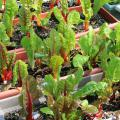 Bright Lights Swiss chard can be grown in window boxes and harvested in the baby leaf stage for a tasty addition to salads. (Photo by Gary Bachman)