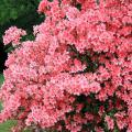 One of the earliest-blooming azaleas is the southern Indica, which performs beautifully as a specimen plant, hedge or background. Its huge blooms come in great quantities and a range of colors. (Photo by Gary Bachman)