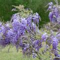 Purple and white are the most common wisteria colors , but nurseries also offer selections in pink and blue.