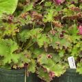 The leaves of some coral bells are different colors on top and bottom, creating flashes of color when the wind blows. (Photo by MSU Extension Service/Gary Bachman)