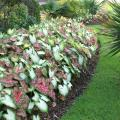 Caladiums are tropical foliage plants that can be mass-planted to neatly define border edges in the landscape. (Photo by MSU Extension Service/Gary Bachman)