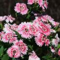 Dianthus, such as these bicolor picotees in the Telstar series, come in a range of colors that bring life and interest to fall gardens. (Photo by MSU Extension Service/Gary Bachman)
