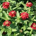 Zahara zinnias are summer plants that still look good in fall. They produce mounds of colorful flowers and come in a wide range of colors, from white to coral rose, such as these Zahara Double Cherry. (Photo by MSU Extension Service/Gary Bachman)