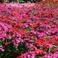 Amazon dianthus, such as these Neon Cherry selections, tolerate summer temperatures and look great in the landscape. (Photo by MSU Extension Service/Gary Bachman)