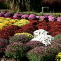 Fall-flowering mums come in many warm colors to complement almost any home color scheme. (Photo by MSU Extension Service/Gary Bachman)
