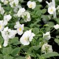 Pansies such as these Matrix white selections are outstanding landscape plants in Mississippi, providing color from fall to spring. (Photo by MSU Extension Service/Gary Bachman)