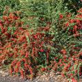 The pyracantha shrub is popular because of its abundance of red berries that seem to drip off the branches in heavy clusters. (Photo by MSU Extension Service/Gary Bachman)