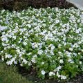 The attractive foliage and gorgeous flowers of mass-planted annual flowering vinca make a great ground cover. (Photo by MSU Extension Service/Gary Bachman)