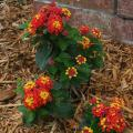 Ally Klaire is a new and exciting small lantana that has one of the reddest lantana colors currently available. Its compact size makes it perfect for small garden spaces. (Photo by MSU Ag Communications/Kat Lawrence)
