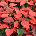 Poinsettias, which are known in their native Mexico as Flores de la Noche Buena, or Flowers of the Holy Night, may be the perfect Christmas plant. (Photo by MSU Extension Service/Gary Bachman)