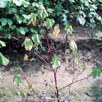 Plant displaying Red Wilt.