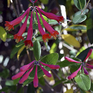 coral honeysuckle flowers attract hummingbirds