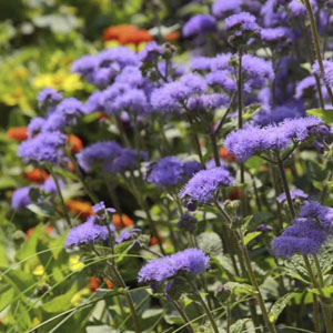 purple flowering annuals