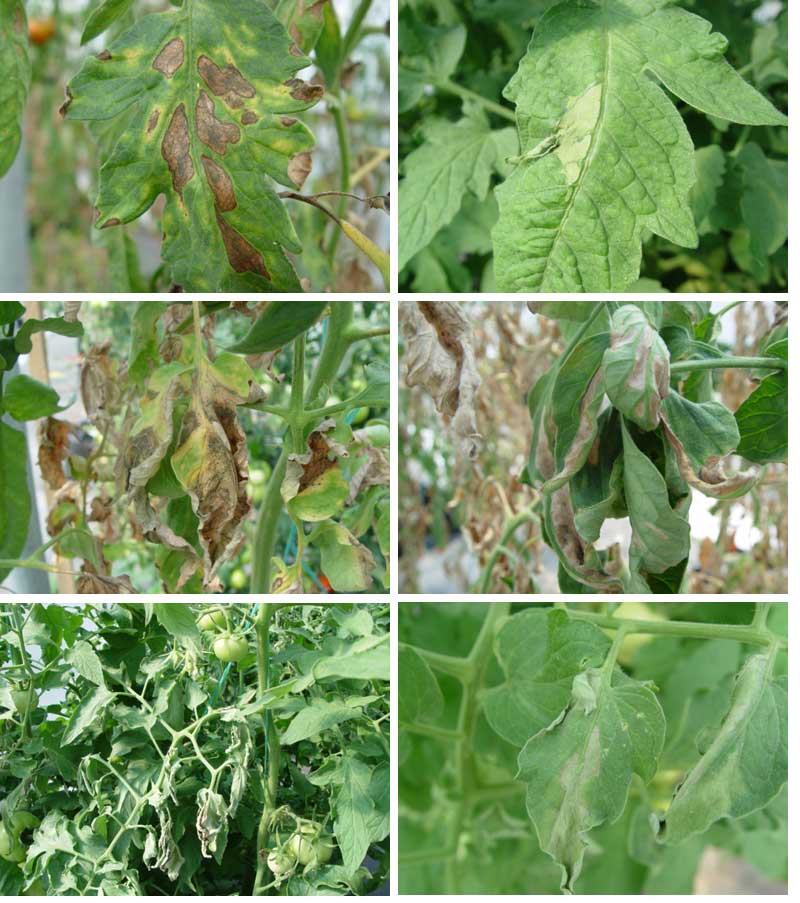 Diseases and Abiotic Problems of Greenhouse Tomatoes