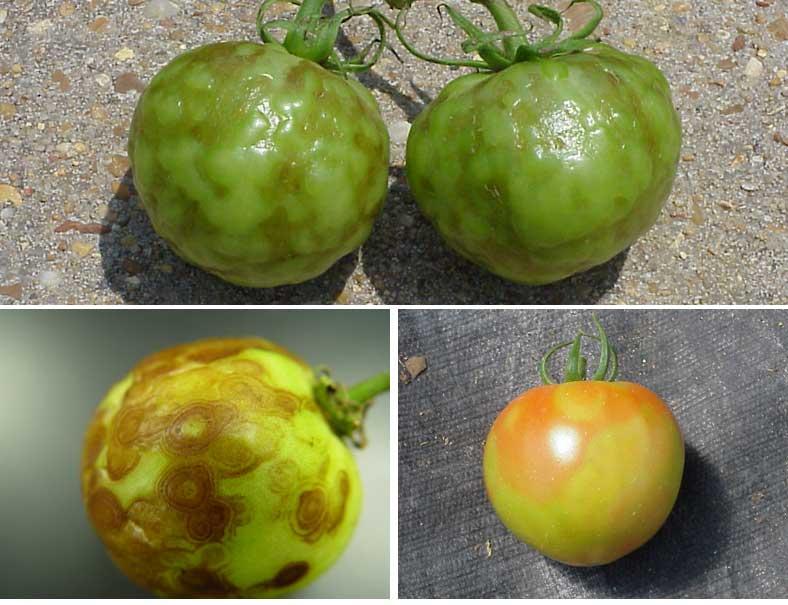 Gray mold tomato