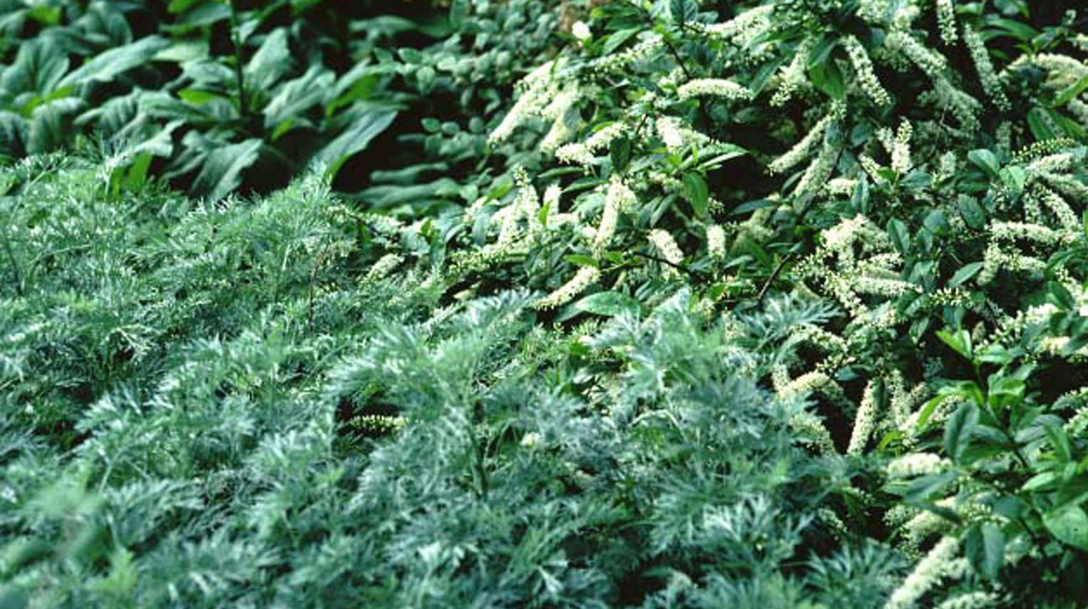 Native Shrubs For Mississippi Landscapes Mississippi State
