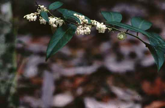 Native shrubs for mississippi landscapes mississippi state lyonia has a low mounding form with arching branches there are few problems associated with lyonia and it is useful as an understory shrub mightylinksfo