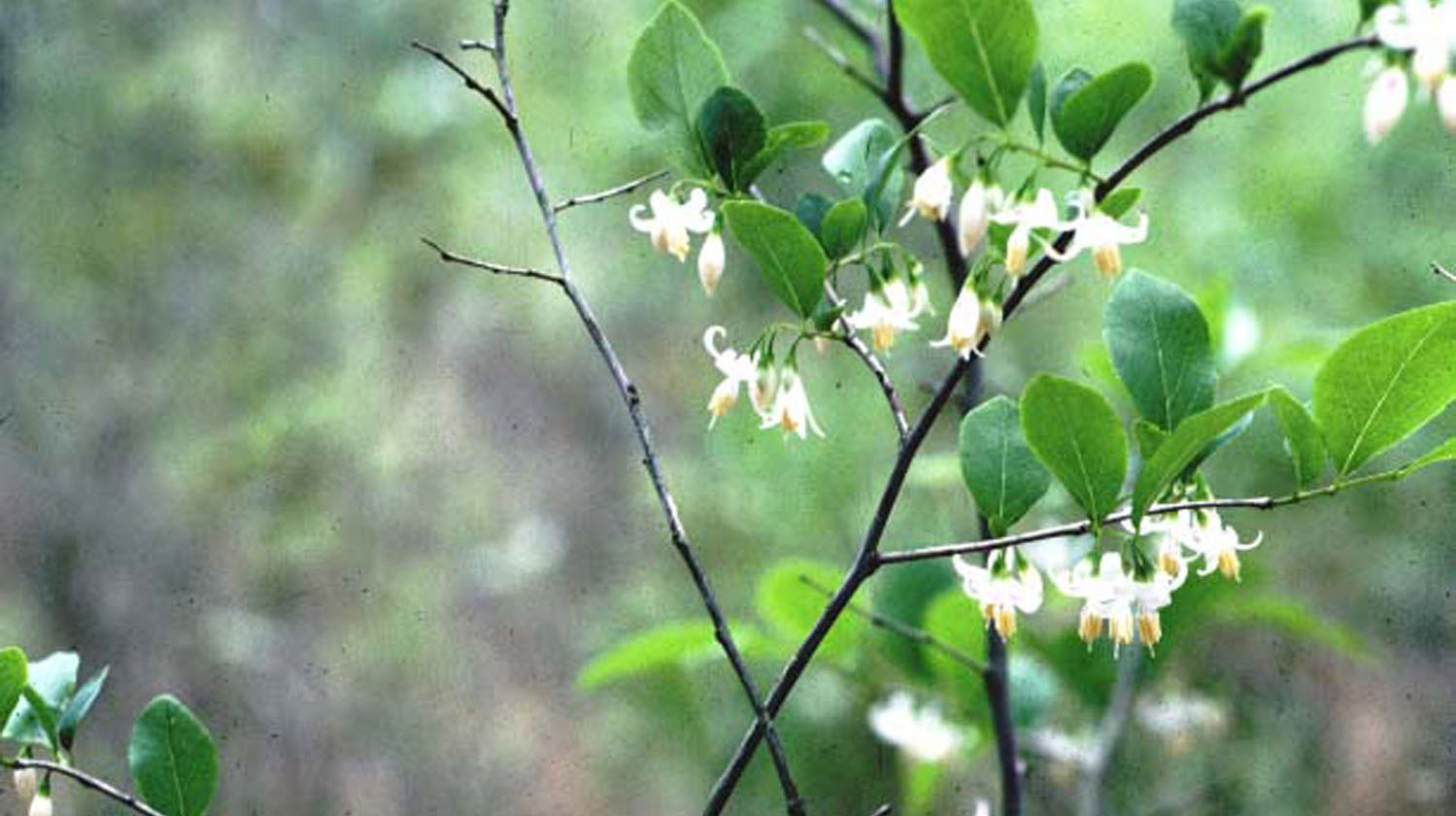Native shrubs for mississippi landscapes mississippi state small white flowers are numerous on the plant and bloom from april through may it typically has an upright oval form mightylinksfo