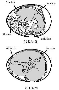 Stages in chick embryo development | Mississippi State University