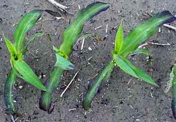 phosphorus deficiency in corn