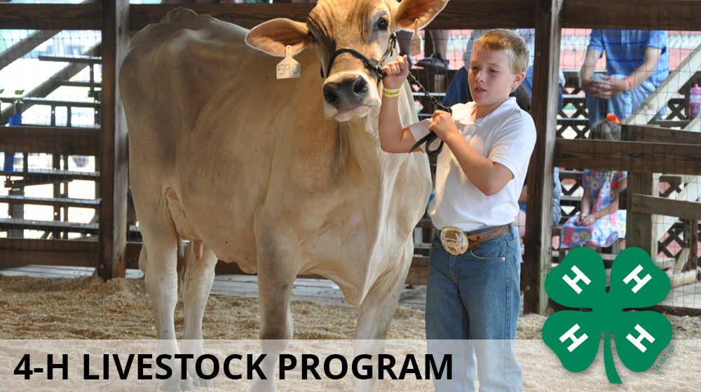 The 4-H Livestock Program header. A 4-H'er is showing his cow.