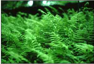 This is an image of ferns.