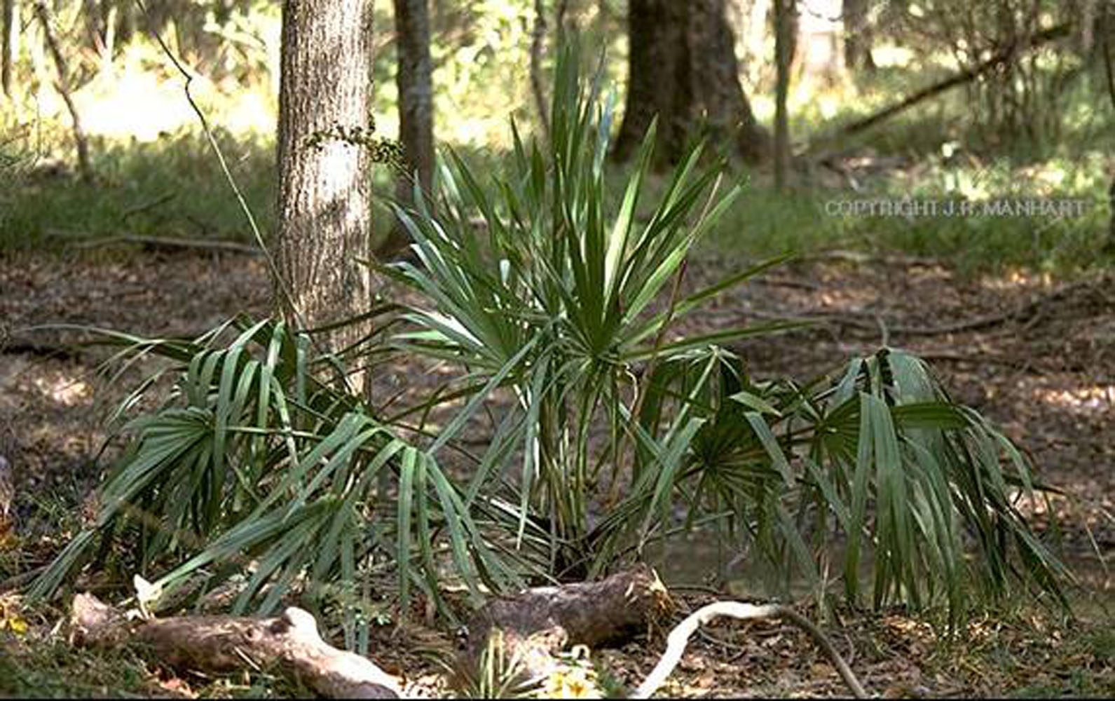 Hardy Palms And Cycads For Mississippi Mississippi State